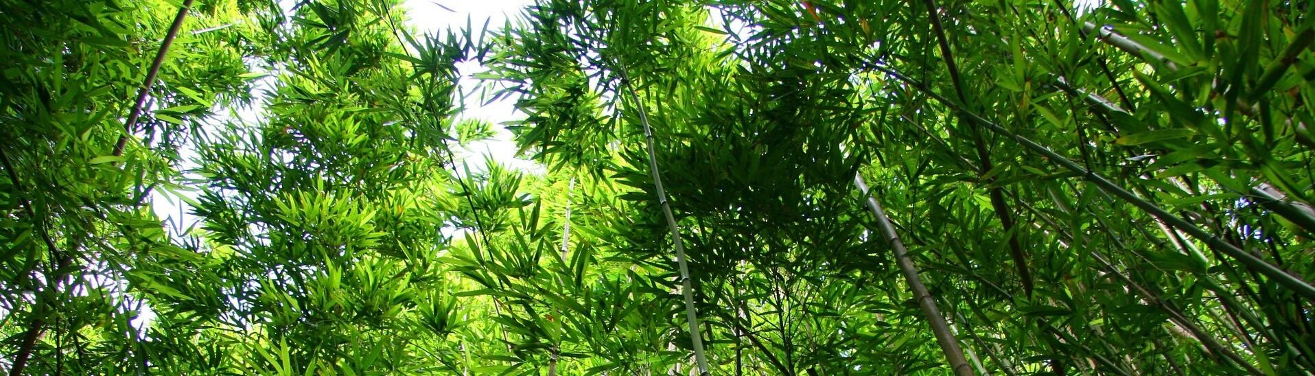 Bambuspflanzen für den Garten oder für Zuhause
