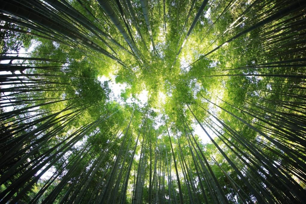 pflanzdichte von bambus