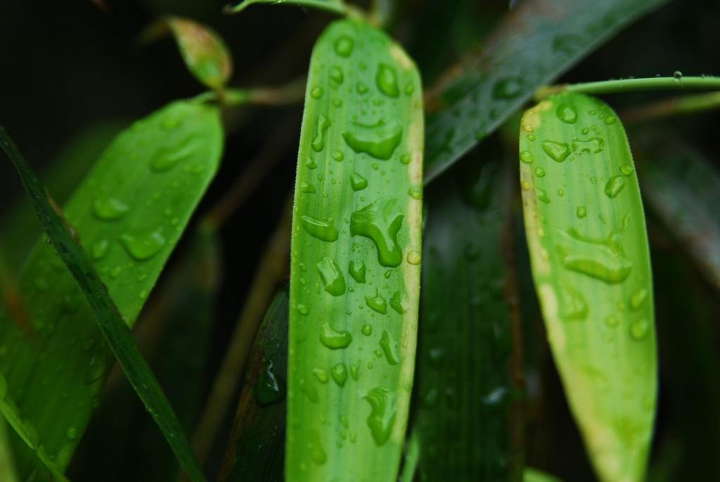 bambus wässern