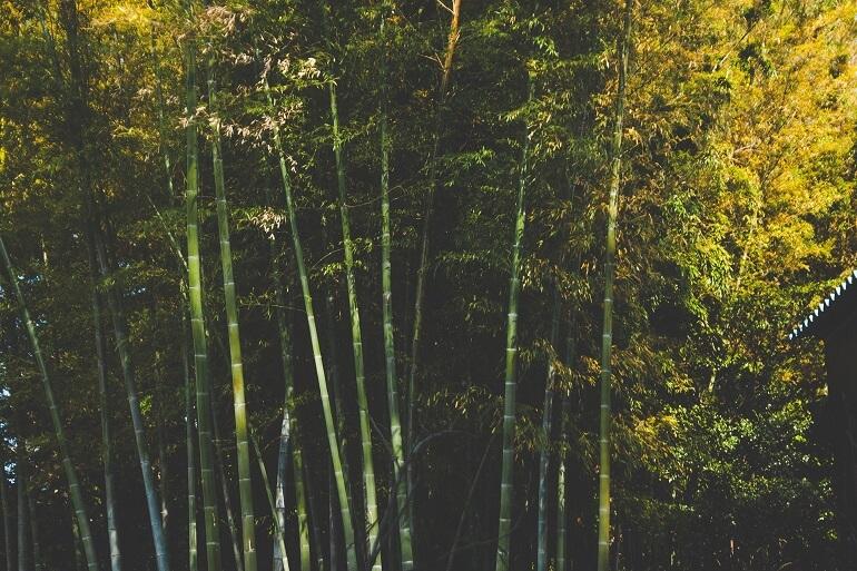 Bambus Pflanzen
