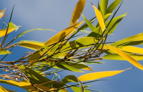 Bambus mit gelben Blättern