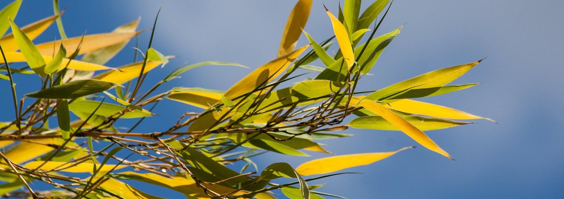 Warum Hat Mein Bambus Gelbe Blatter Bambus Freunde