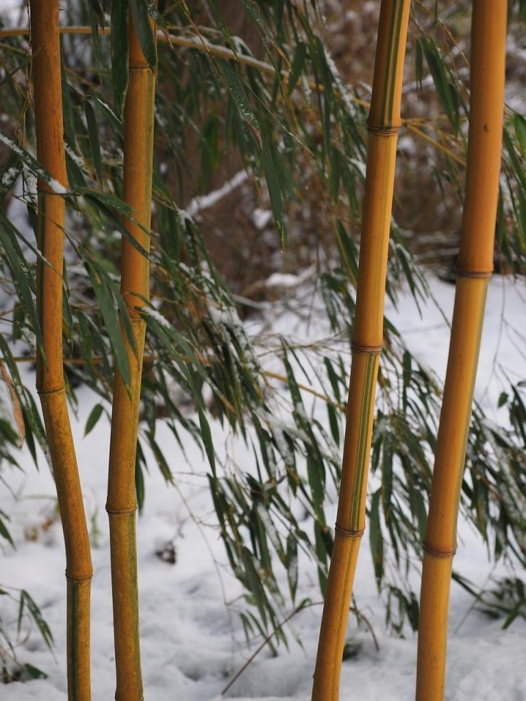 Bambus Uberwintern Worauf Ist Zu Achten Bambus Freunde
