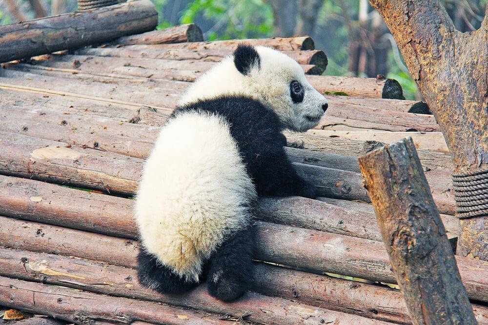 Pandabär klettert