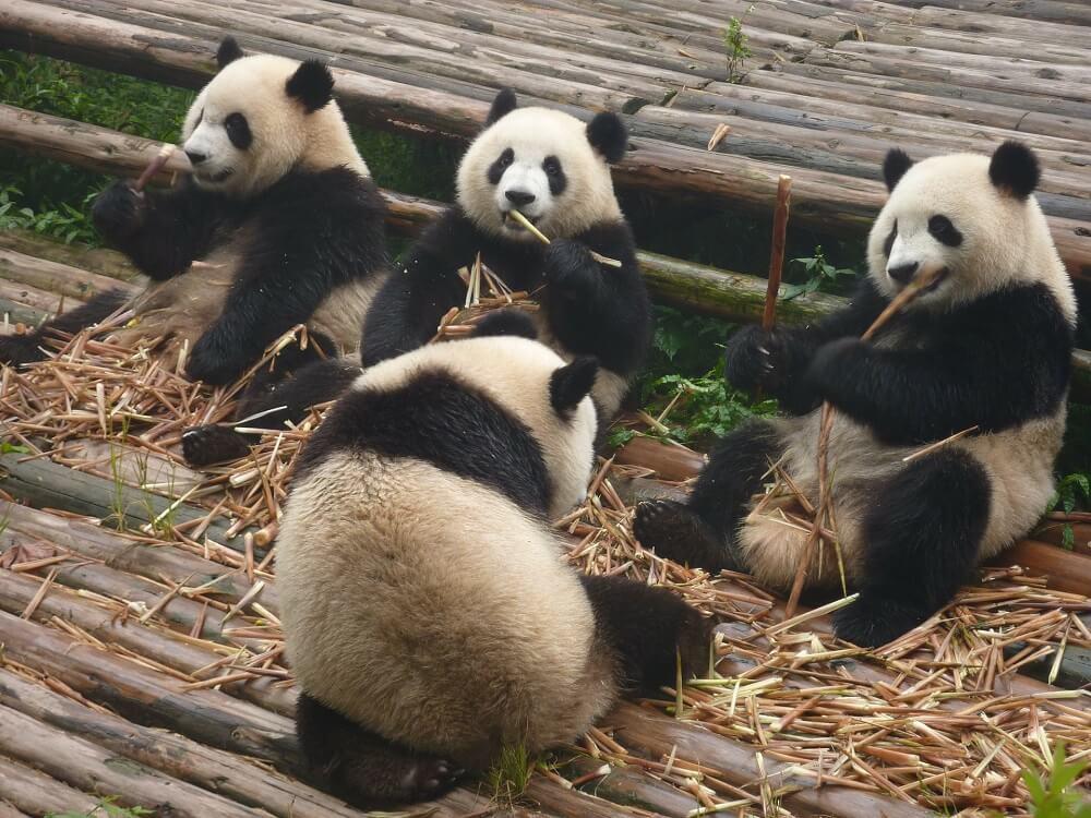 Pandabären kein Winterschlaf