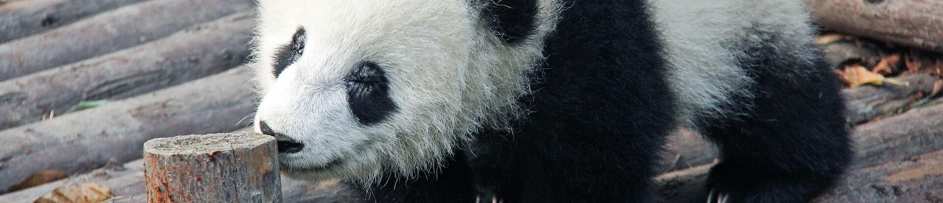 Warum sind Pandas schwarz weiß