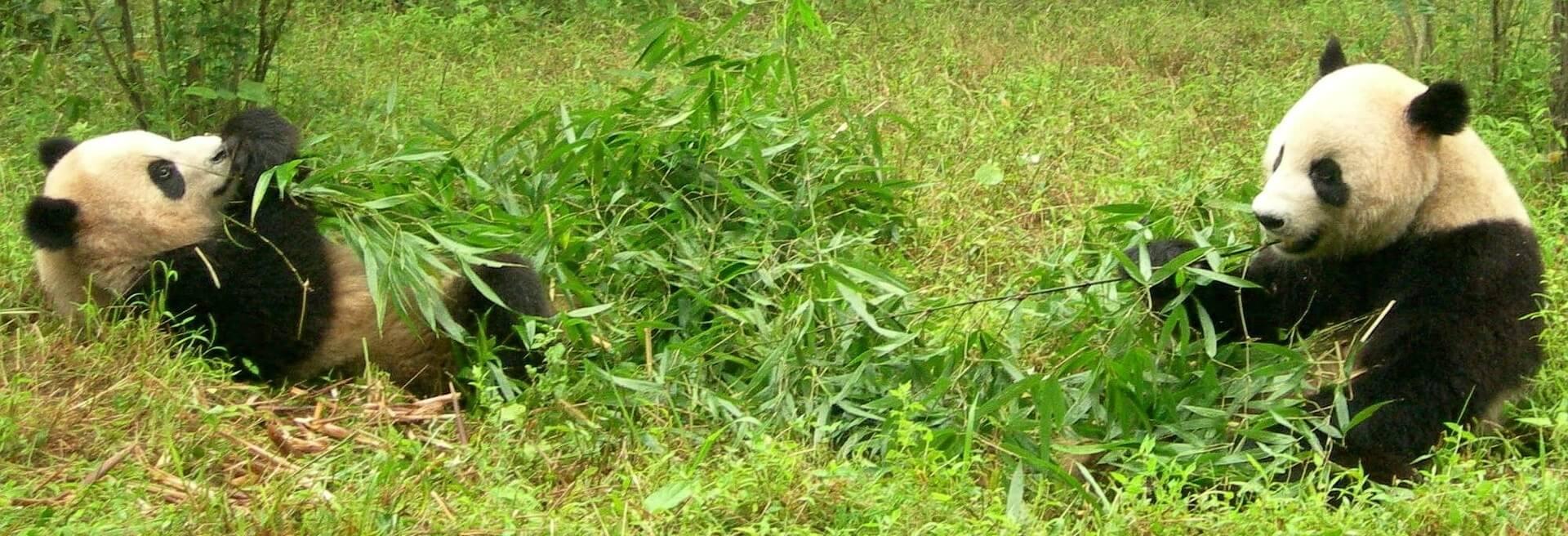 Wie viele Pandas gibt es noch