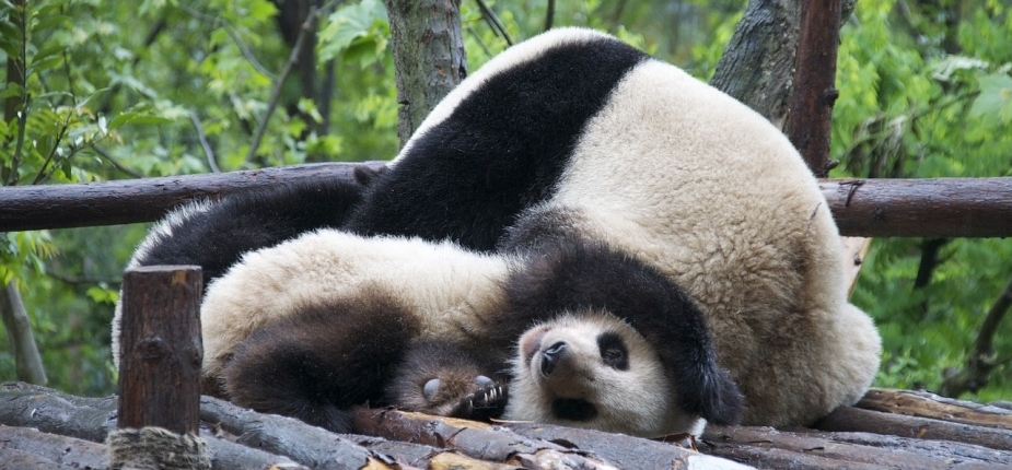 lustige Pandas